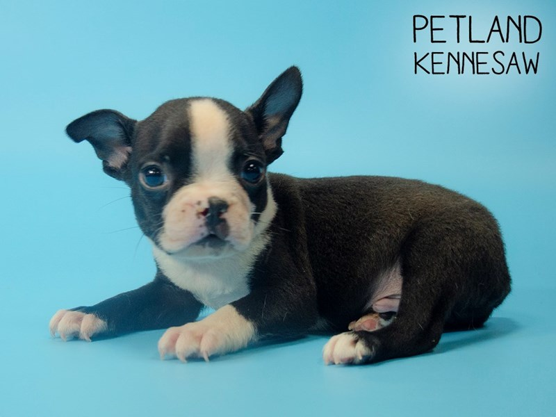 Boston Terrier-Male-blk and wh-2746276-Petland Kennesaw