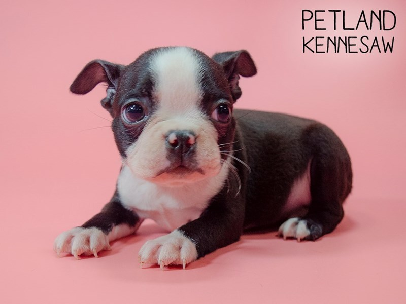 Boston Terrier-Female-Blk and White-2745188-Petland Kennesaw