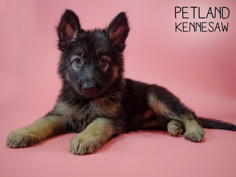 German Shepherd-Female-Blk and Tan-2745323-Petland Kennesaw