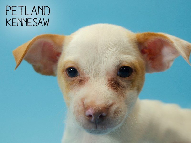 Chihuahua-Male-Brown and White-2745191-Petland Kennesaw