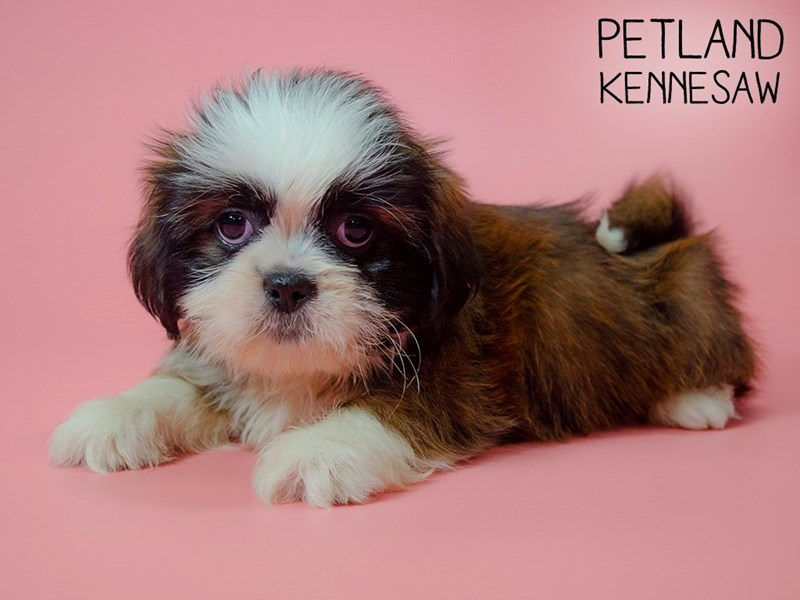 Shih Tzu-Female-Brown and White-2745217-Petland Kennesaw