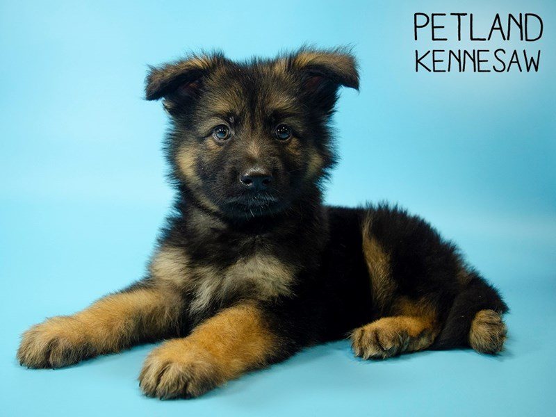 German Shepherd-Male-Blk and Tan-2745325-Petland Kennesaw