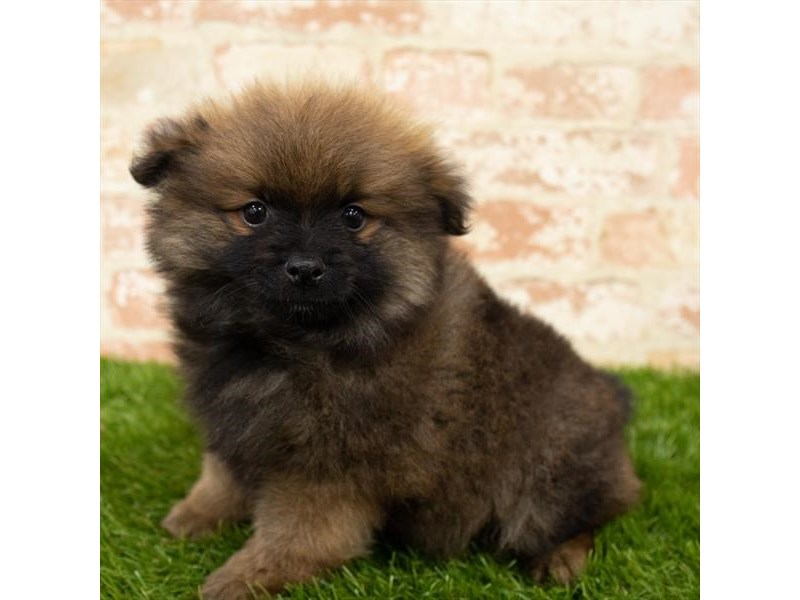 Pomeranian-Male-Wolf Sable-2752973-Petland Kennesaw