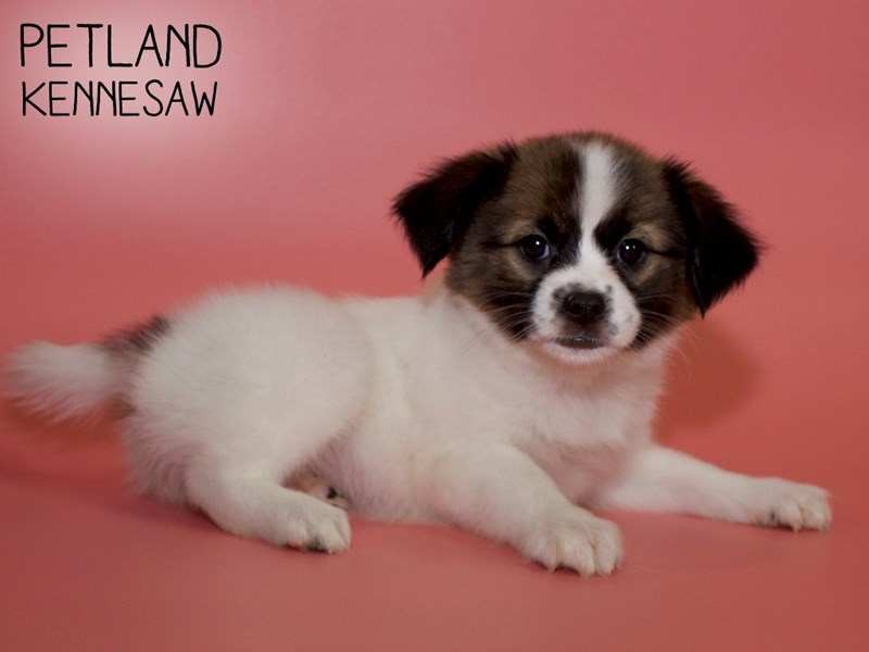 Papillon-Female-Sable / White-2752913-Petland Kennesaw