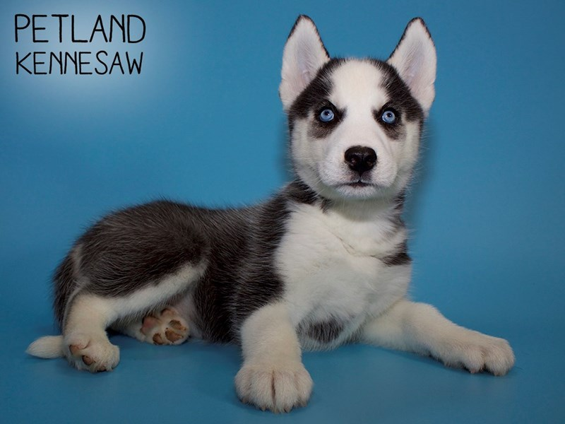 Siberian Husky-Male-Black & White-2748720-Petland Kennesaw