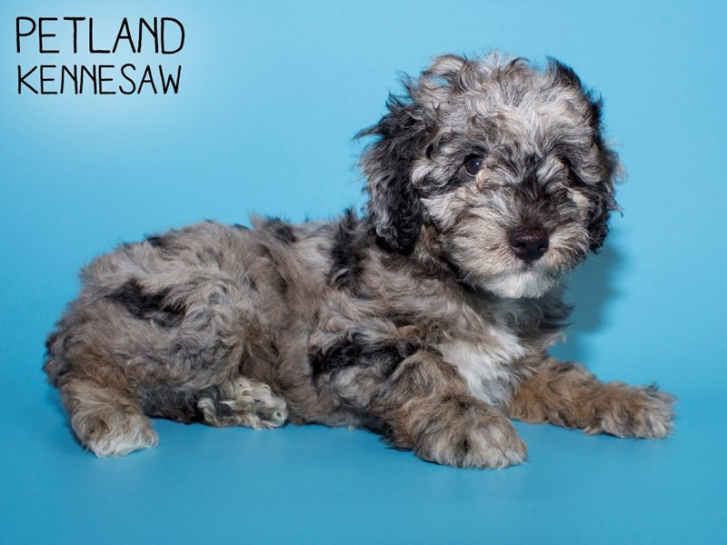 Miniature Poodle-Male-BLUE MERLE-2748906-Petland Kennesaw