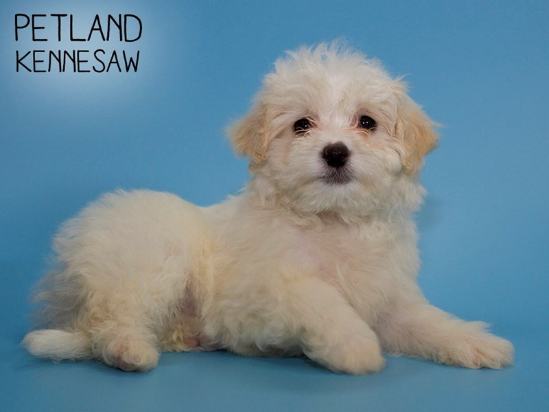 Maltichon-Male-CREAM WHITE-2748716-Petland Kennesaw