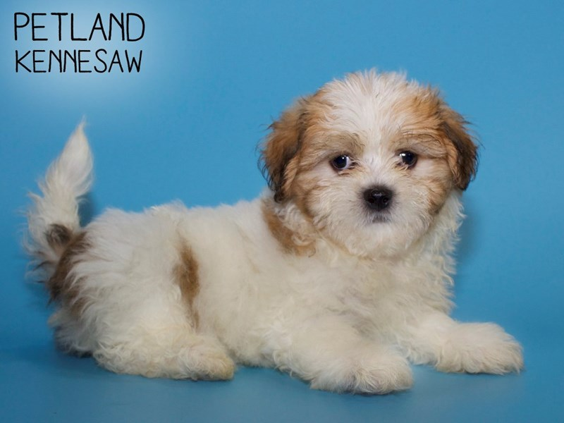 Teddy Bear-DOG-Male-Gold / White-2738334-Petland Kennesaw