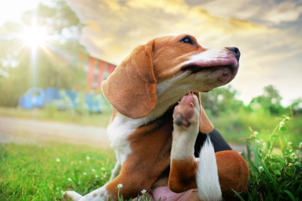 Flea, 7 Effective Flea and Tick Prevention Tips for Dogs