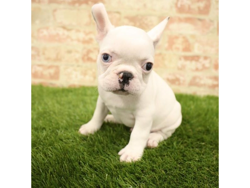 French Bulldog-Male-White-2738333-Petland Kennesaw