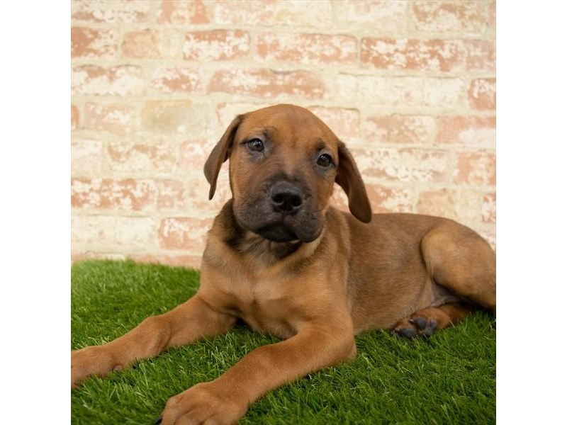 Bullmastiff-Male-Red-2745950-Petland Kennesaw