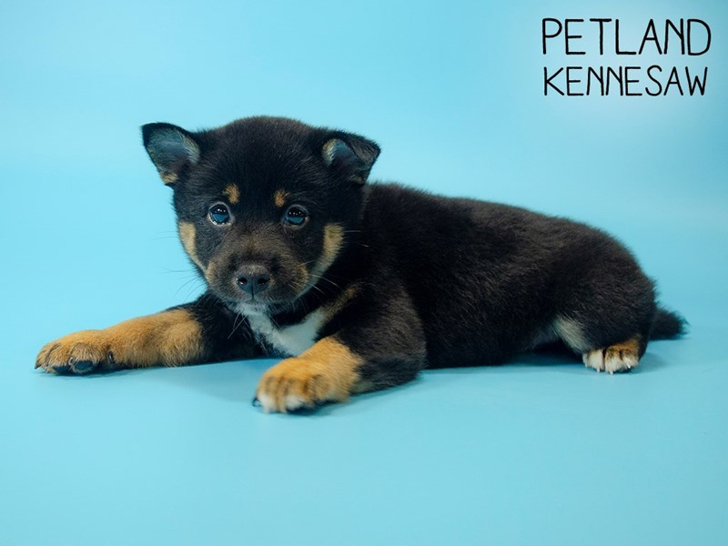 Shiba Inu-Male-blk tn and wh-2746287-Petland Kennesaw
