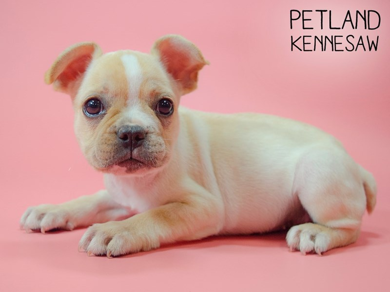 French Bulldog-Female-cream wh mkgs-2746238-Petland Kennesaw