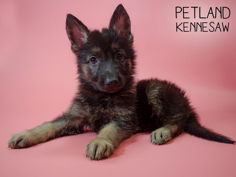 German Shepherd-Female-Blk and Tan-2745324-Petland Kennesaw