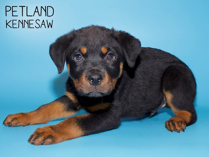 Rottweiler-Male-Blk and Tan-2756671-Petland Kennesaw