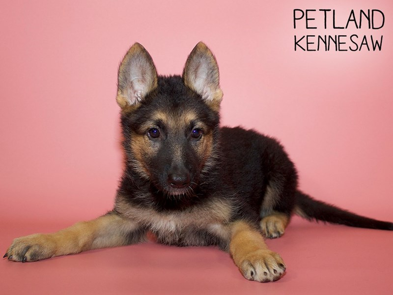German Shepherd-Female-Blk and Tan-2756673-Petland Kennesaw
