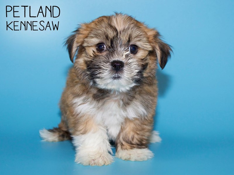 Teddy Bear-Male-Brown and White-2756715-Petland Kennesaw