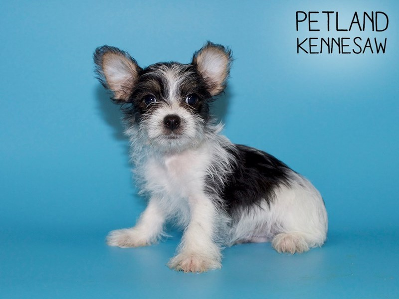 Morkie-DOG-Male-Blk and White-2756721-Petland Kennesaw
