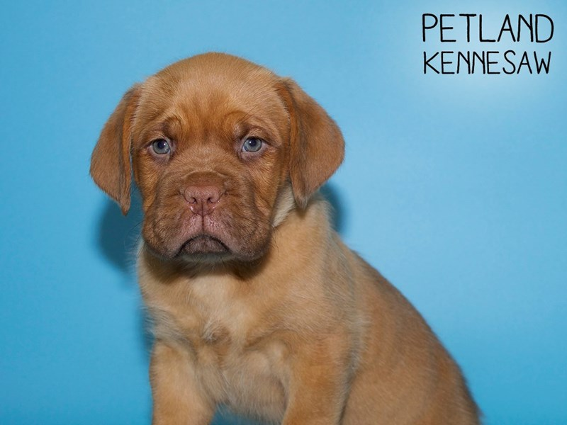 Dogue De Bordeaux-Male-Red-2756726-Petland Kennesaw