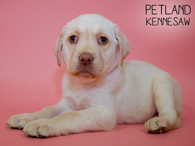 Labrador Retriever-Female-Yellow-2756728-Petland Kennesaw
