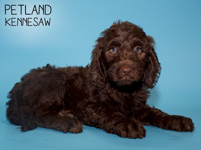 Labradoodle-Male-Chocolate-2763971-Petland Kennesaw
