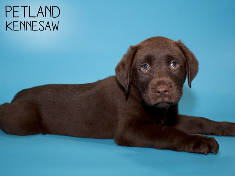 Labrador Retriever-Male-Chocolate-2763996-Petland Kennesaw