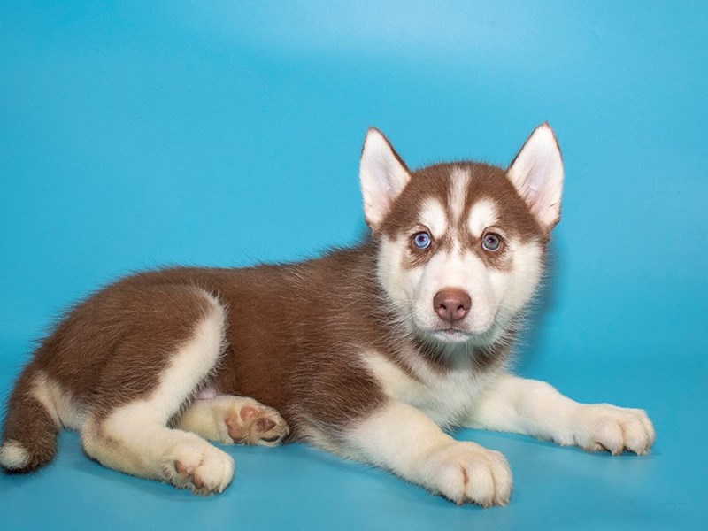 Siberian Husky-Male-Red White-2772020-Petland Kennesaw