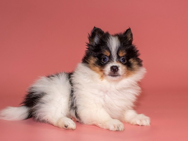 Pomeranian-Female-tri color-2771785-Petland Kennesaw