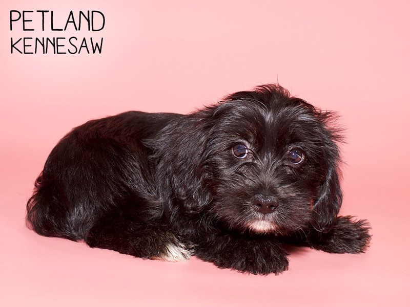 Schnoodle-Female-Black and White-2782292-Petland Kennesaw