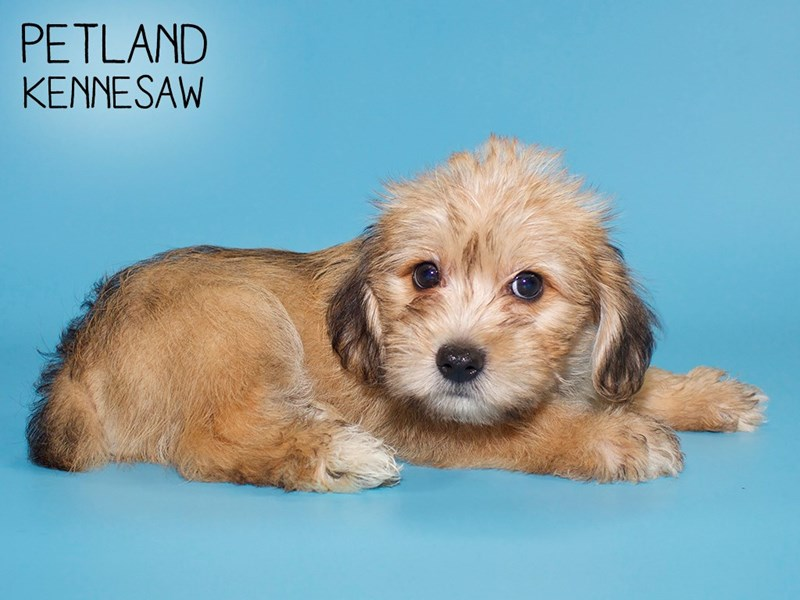 Schnoodle-Male-Brown with Blk Tips-2782290-Petland Kennesaw