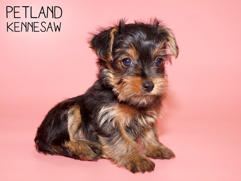 Yorkshire Terrier-Female-Blk and Tan-2782167-Petland Kennesaw