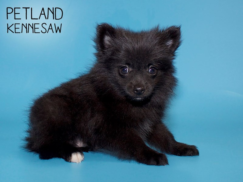 Pomeranian-Male-Black-2781934-Petland Kennesaw