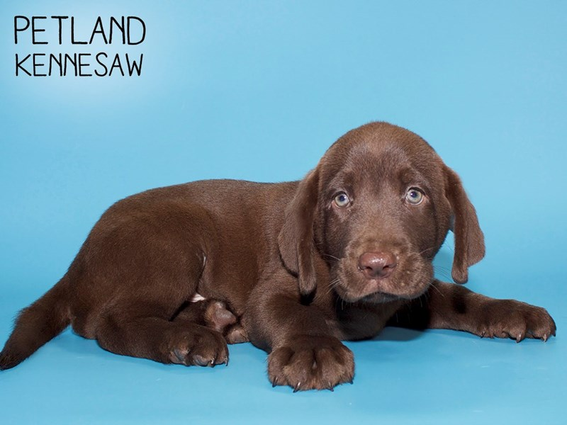 Labrador Retriever-Male-Chocolate-2779189-Petland Kennesaw