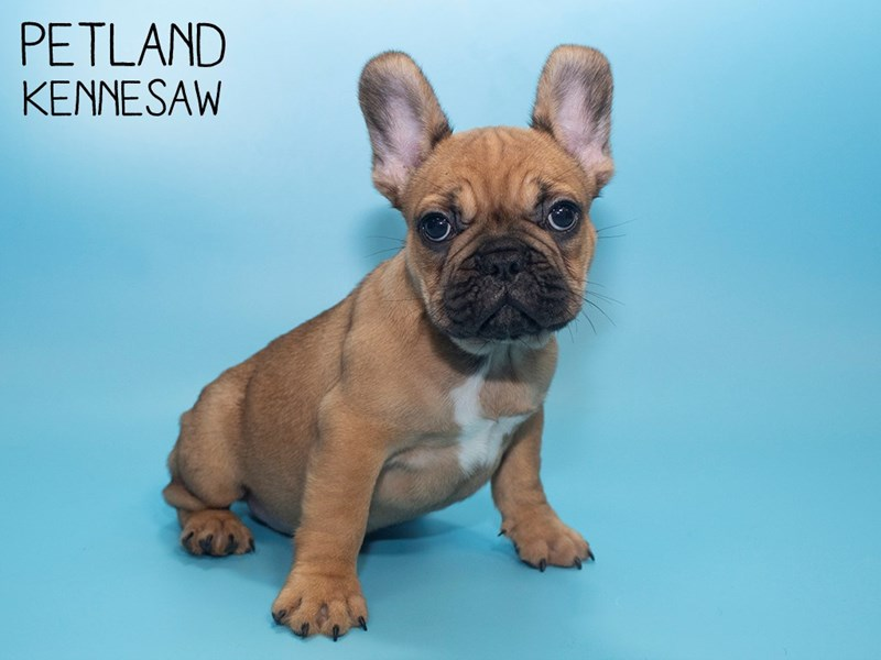 French Bulldog-Male-Fawn-2791379-Petland Kennesaw