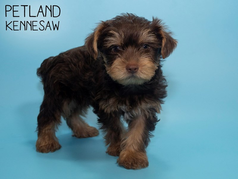 Yorkshire Terrier-Male-CHOC TAN-2786951-Petland Kennesaw