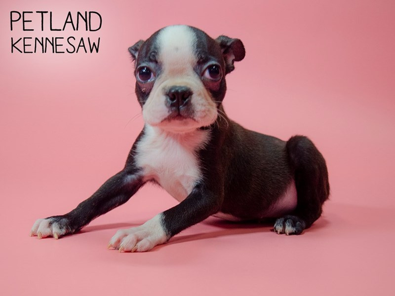 Boston Terrier-Female-blk and wh-2746282-Petland Kennesaw