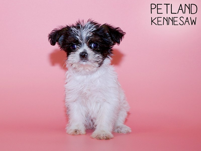 Morkie-Female-Blk and White-2756723-Petland Kennesaw