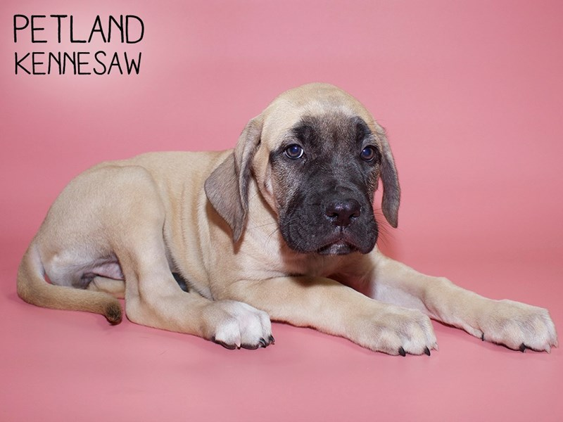 Bullmastiff-Female-Fawn with Black Mask-2781965-Petland Kennesaw