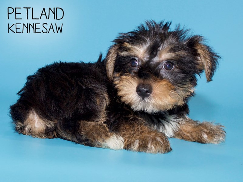 Yorkshire Terrier-Male-BLK TAN-2779465-Petland Kennesaw
