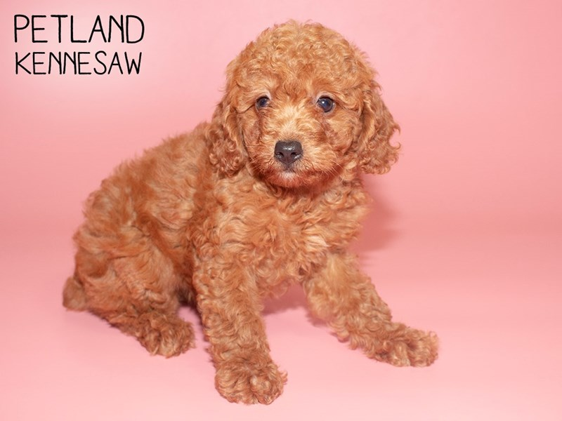 Miniature Poodle-Female-RED-2787153-Petland Kennesaw