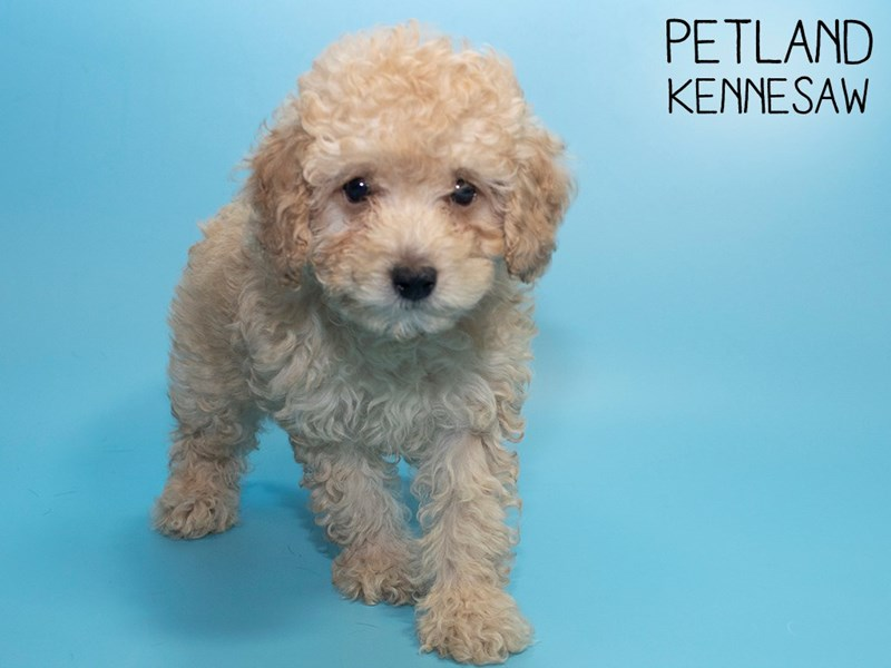 Miniature Poodle-Male-LIGHT RED-2786850-Petland Kennesaw