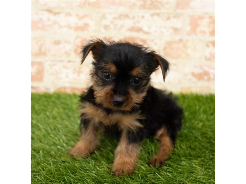 Yorkshire Terrier-Female-Black / Tan-2798180-Petland Kennesaw
