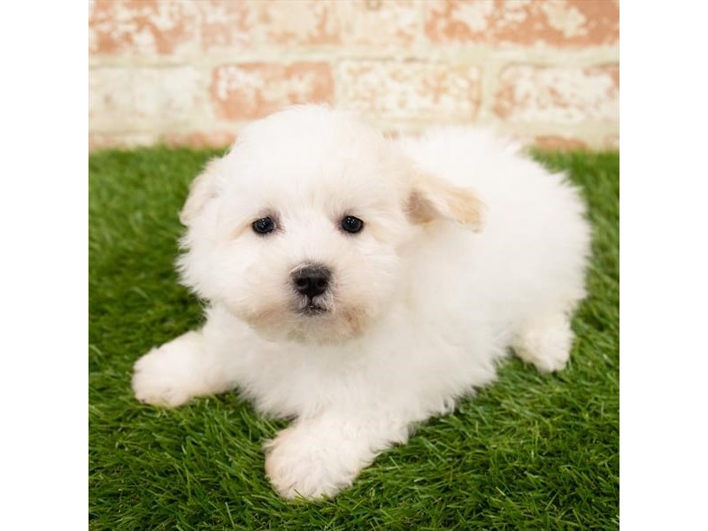 Teddy Bear-Male-Cream-2798187-Petland Kennesaw