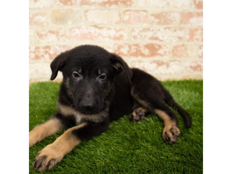 German Shepherd-Male-Black / Tan-2798195-Petland Kennesaw