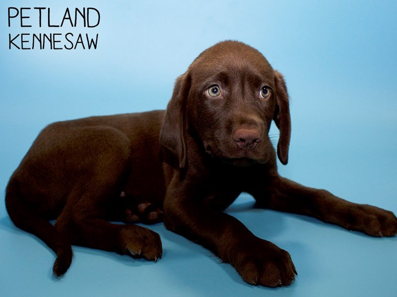 Labrador Retriever-Male-Chocolate-2794141-Petland Kennesaw