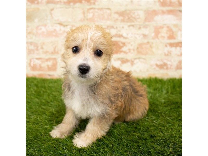 Morkie-Female-Gold-2812651-Petland Kennesaw