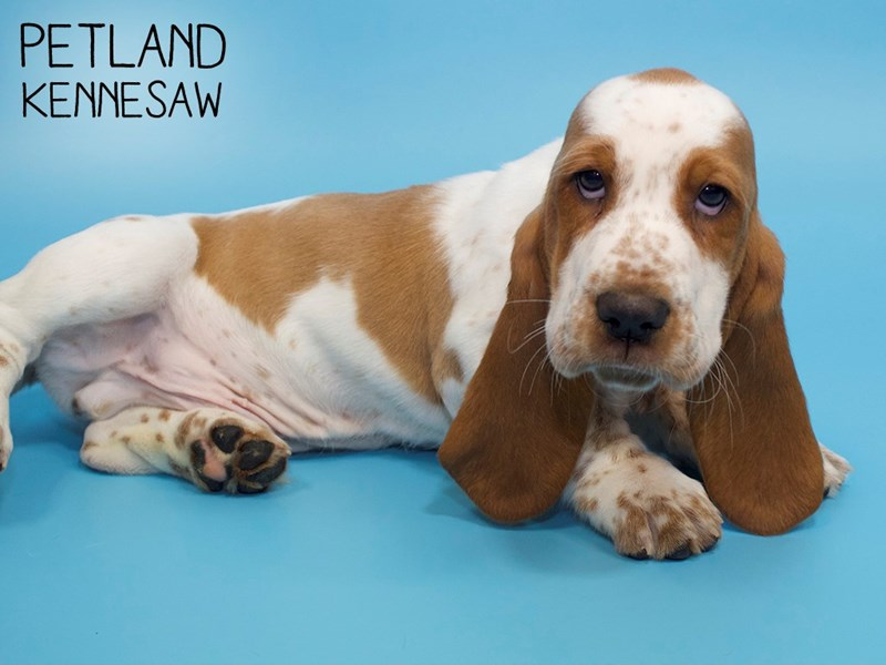 Basset Hound-Male-Red and White-2808692-Petland Kennesaw