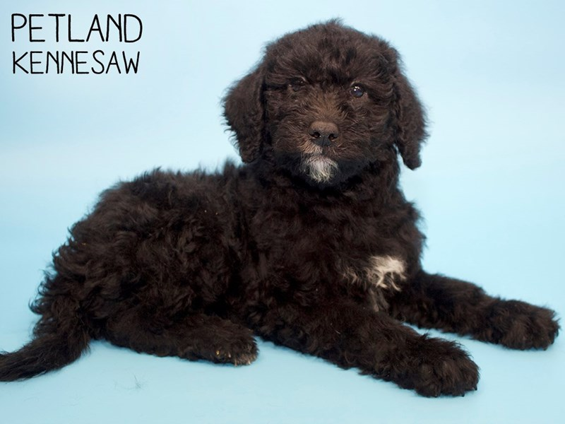 Labradoodle-Male-Black White-2808317-Petland Kennesaw