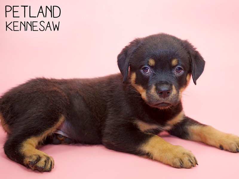 Rottweiler-Female-Black & Tan-2808390-Petland Kennesaw
