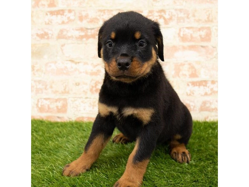 Rottweiler-Male-Black / Rust-2820977-Petland Kennesaw